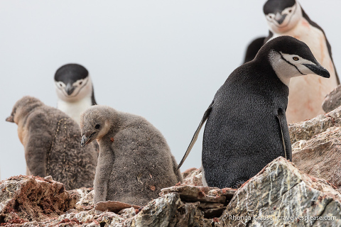 Wildlife of Antarctica- Chinstrap penguins and chicks