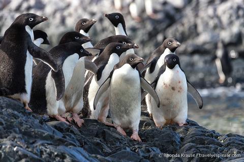 Antarctic Wildlife- Adelie penguins