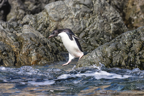 Adelie penguin jumping into the water