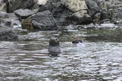 Swimming Weddell seal