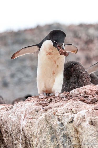 Adelie penguin collecting rocks for its nest