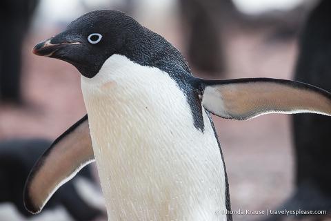 Wildlife in Antarctica- Adelie penguin