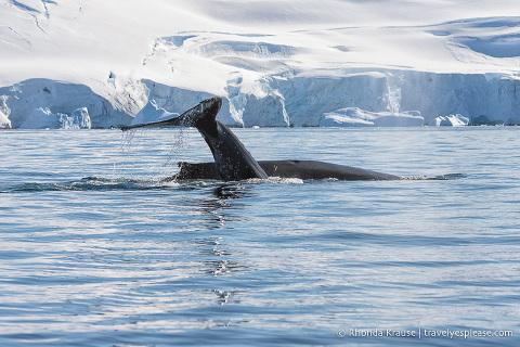 Antarctic Wildlife- Humpback whales