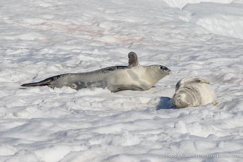 Crabeater seals in Antarctica
