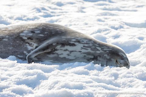 Sleeping Weddell seal in Antarctica