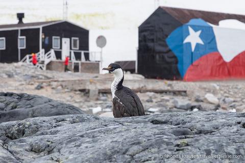 Blue-eyed cormorant in Antarctica