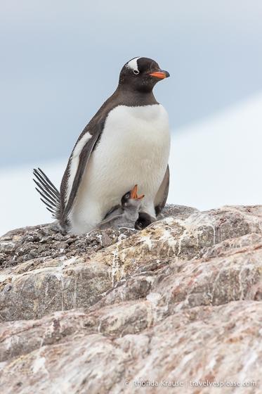 Wildlife in Antarctica- Gentoo penguin and chick