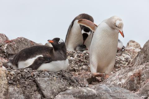 A leucistic (white) penguin in Antarctica