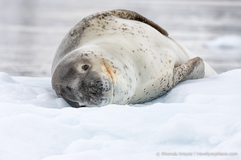 Leopard seal on ice in Antarctica