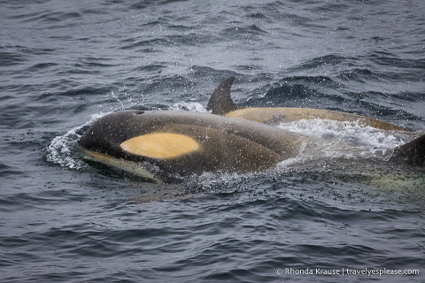 Wildlife in Antarctica- Orcas/killer whales