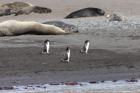 Antarctic Wildlife- Gentoo penguins and elephant seals