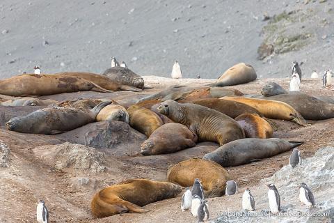 Wildlife in Antarctica- Elephant seals and gentoo penguin chicks