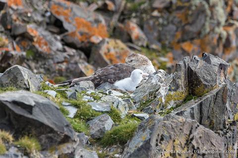 Nesting petrels in Antarctica