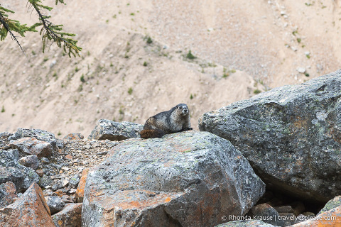 Hoary marmot in Jasper National Park