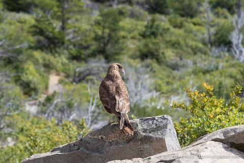 Bird at Mirador Lago Skottsberg