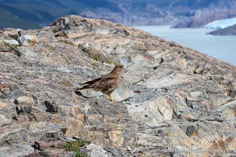 Bird on the rocks at Mirador Lago Grey