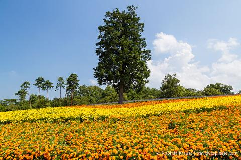 Field of orange and yellow flowers at Tottori Hanakairo Flower Park