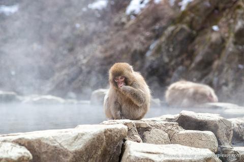 Japan bucket list- Visit the snow monkeys (young snow monkey sitting on the edge of a hot spring at Jigokudani Monkey Park)