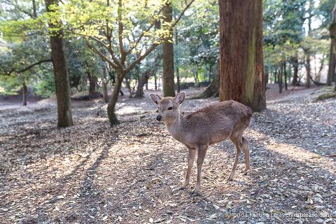 Japan bucket list- Feed the deer in Nara Park (small deer in Nara Park)