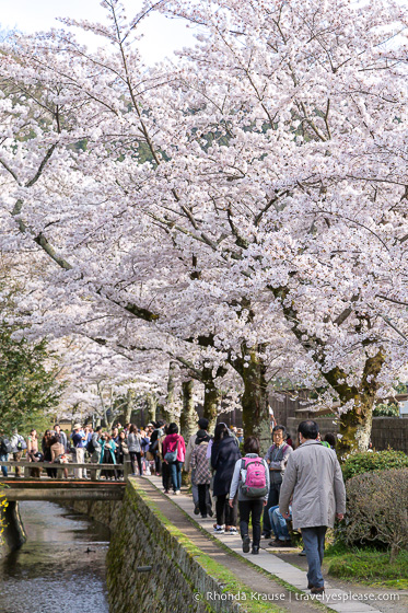 Cherry trees in bloom beside the Path of Philosophy, Kyoto