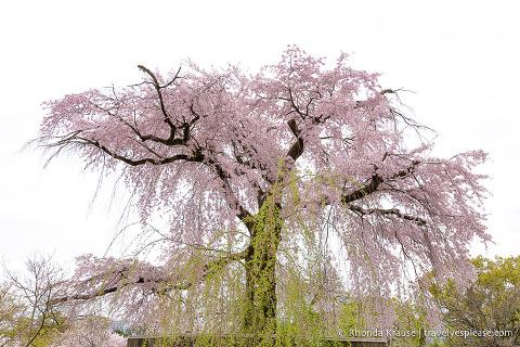 Weeping cherry tree in bloom at Maruyama Park, Kyoto