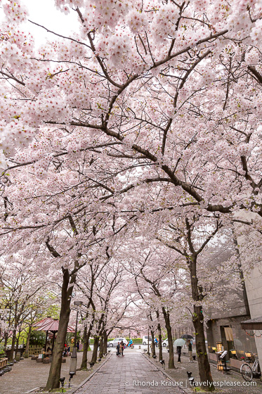 Japan bucket list- Celebrate cherry blossom season (blossom framed street in Kyoto)