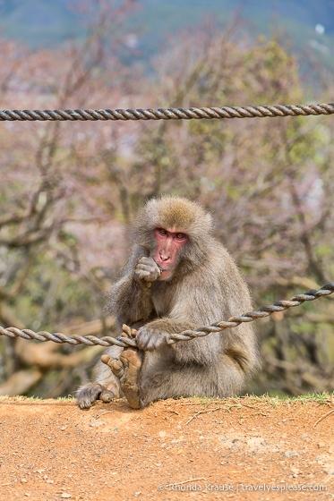 Adult monkey at Iwatayama Monkey Park