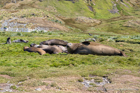 Elephant seals in Grytviken
