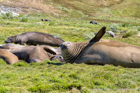 Group of elephant seals in Grytviken