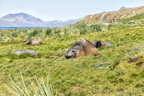 Elephant and fur seals in the grass at Grytviken