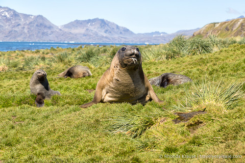 Drooling elephant seal