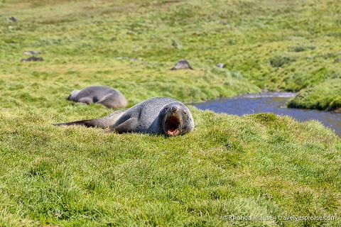 Yawning fur seal