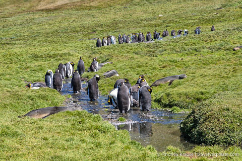 Line of king penguins walking in a stream