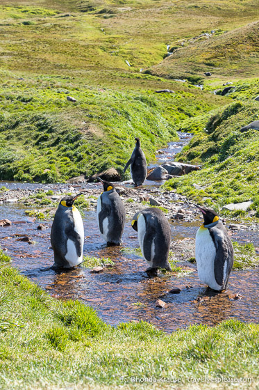 King penguins in a stream