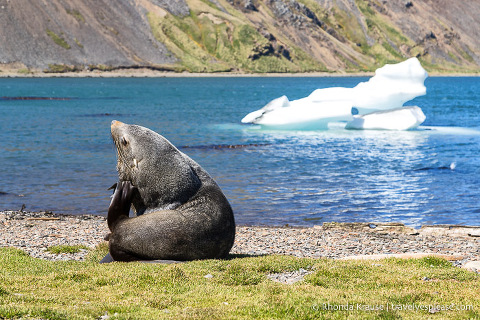Fur seal scratching his ear in front of a small iceberg
