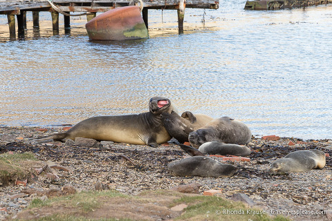 Elephant and fur seals on the beach