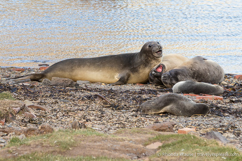 Elephant and fur seals on the beach in Grytviken