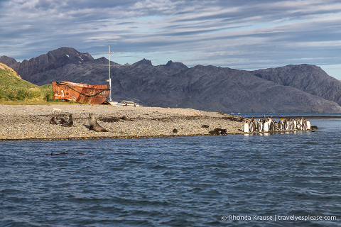 King penguins, fur seals, and an old boat at King Edward Point