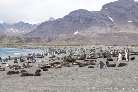 Fur seals and penguins on the beach at Salisbury Plain.