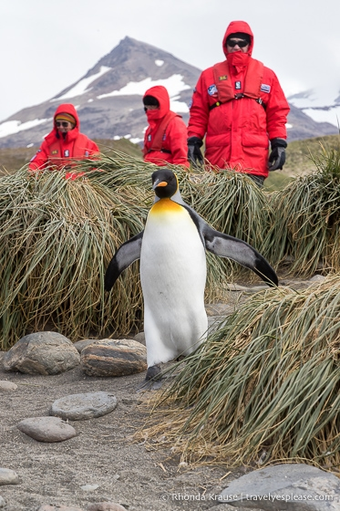 King penguin walking past a group of tourists.