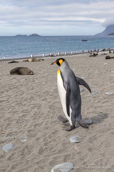 King penguin walking on the beach at Salisbury Plain.