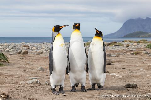 Group of three king penguins on the beach at Salisbury Plain, South Georgia.
