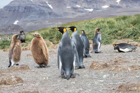 King penguins and chicks at Salisbury Plain, South Georgia.
