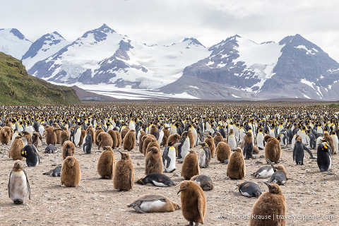 A sea of penguins in front of Grace Glacier.