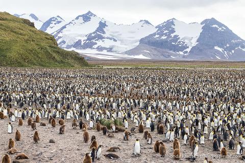Salisbury Plain, South Georgia- King penguin colony backed by Grace Glacier.