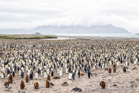 King penguin colony at Salisbury Plain.