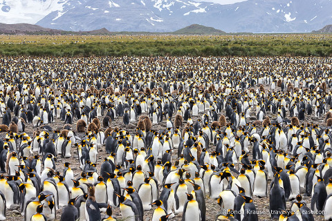 Tightly packed penguins on Salisbury Plain in South Georgia.