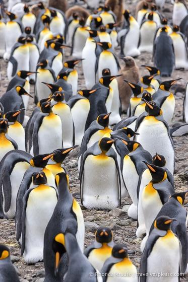 King penguins at Salisbury Plain.