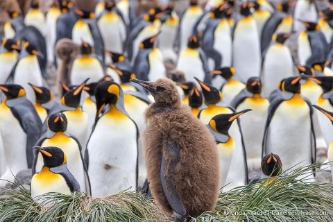 King penguin chick on tussock grass with adult penguins in the background.