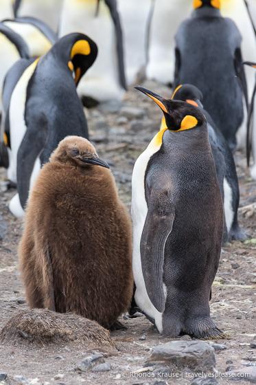 King penguin with chick on Salisbury Plain.